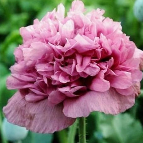 Violetta Blush Peony  - Poppy