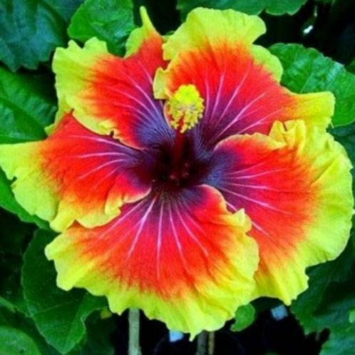Tahitian Lion Queen - Tropical Hibiscus