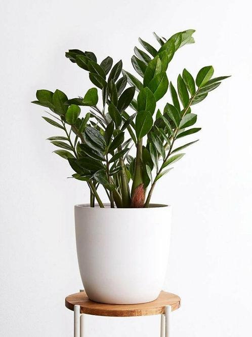 ZZ Plant - Indoor/Outdoor Ornamental Plant