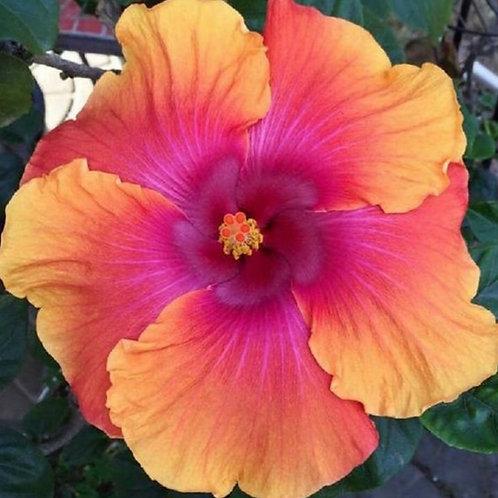 Yolanda - Tropical Hibiscus