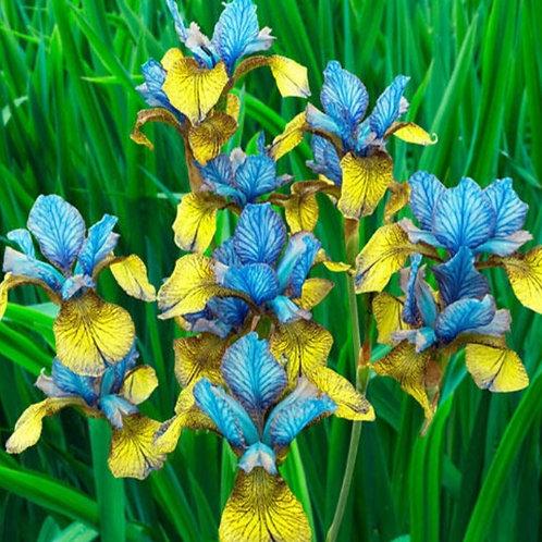 So Van Gogh - Siberian Iris seeds - 5 Heirloom seeds per pack