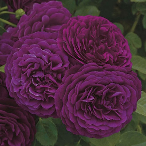 Twilight Zone- Grandiflora Rose