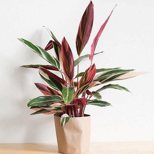 Triostar Calathea - Indoor/Outdoor Ornamental Plant