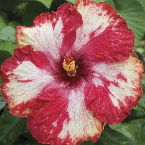 Rim of Fire - Tropical Hibiscus