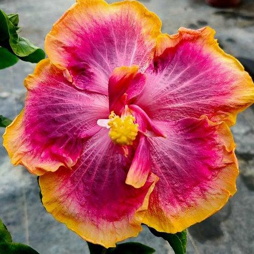 Garden of Eden - Tropical Hibiscus