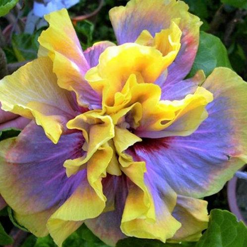 Impelo - Tropical Hibiscus