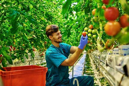 Ernte von Tomaten im Gewächshaus