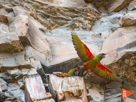 La Paraba Frente Roja, maravilla en peligro de extinción