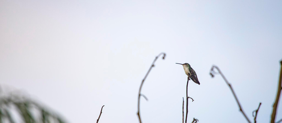 El curioso símbolo del infinito de los colibríes