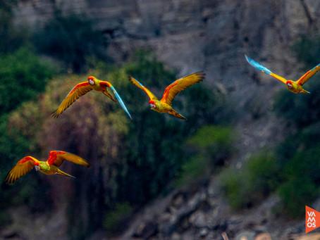 La Paraba Frente Roja de los valles secos interandinos de Bolivia