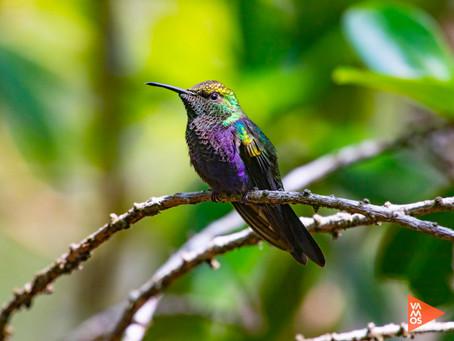 La principal función del picaflor o colibrí en Bolivia
