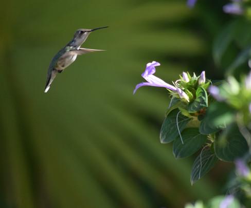 Ruby-throated Humminbird © Eddie Ay Peña