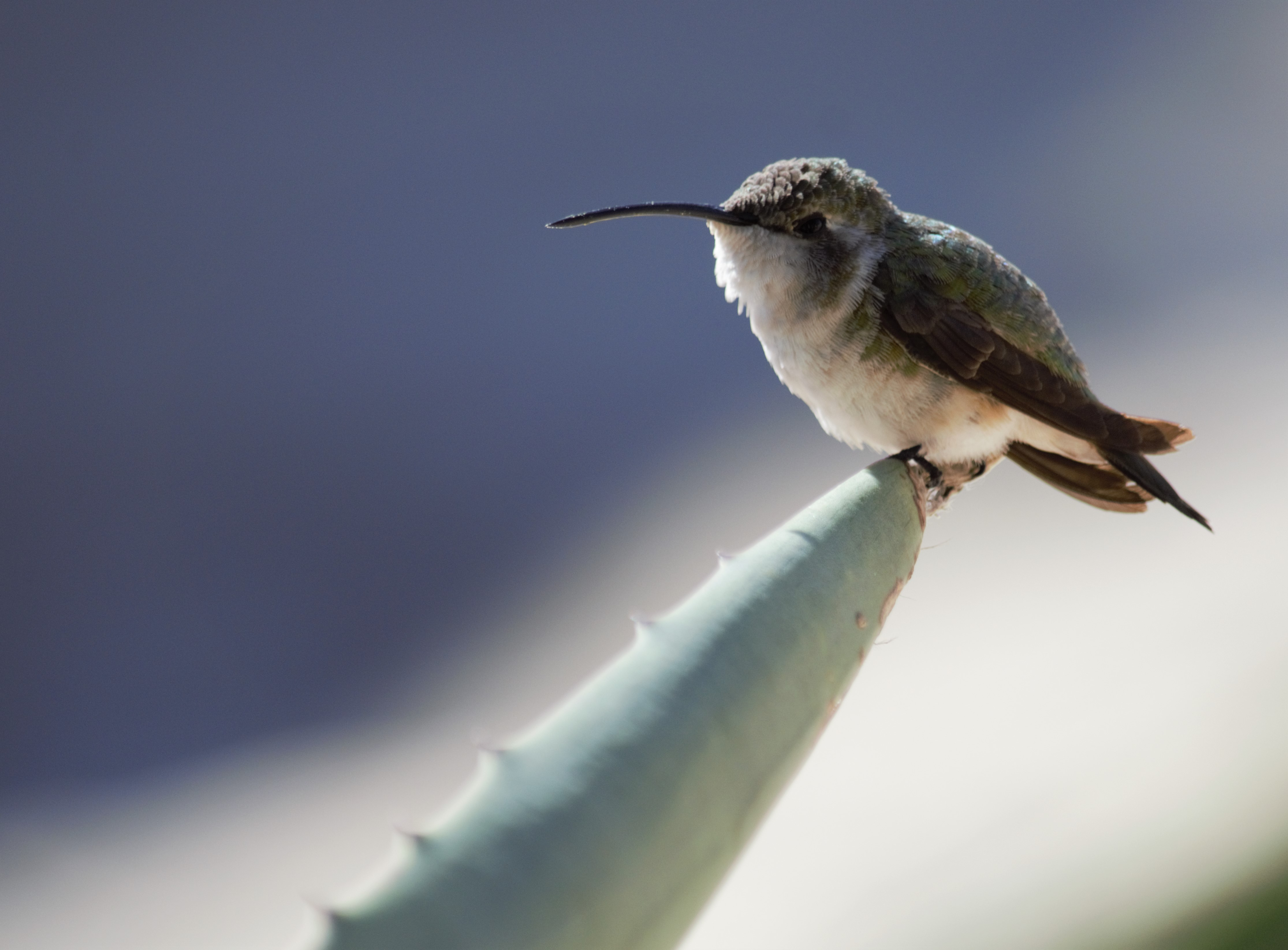 Mexican sheartail © Eddie Ay Peña