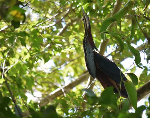 Agami Heron © Eddie Ay Peña