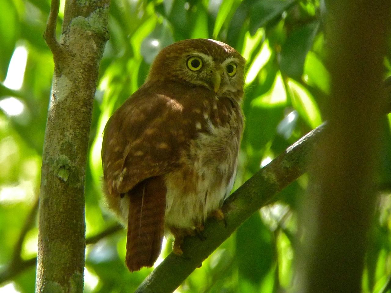 Ferrruginous Pygmy Owl