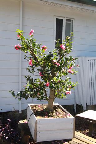 Camellia flowering