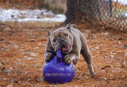 Happy Cascadia #shortybull #bulldogsofto