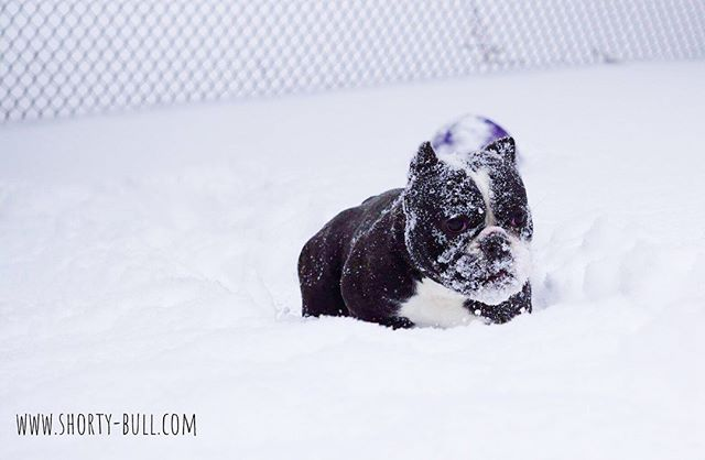Wynter in the winter #shortybull #snowfa