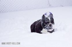 Wynter in the winter #shortybull #snowfa