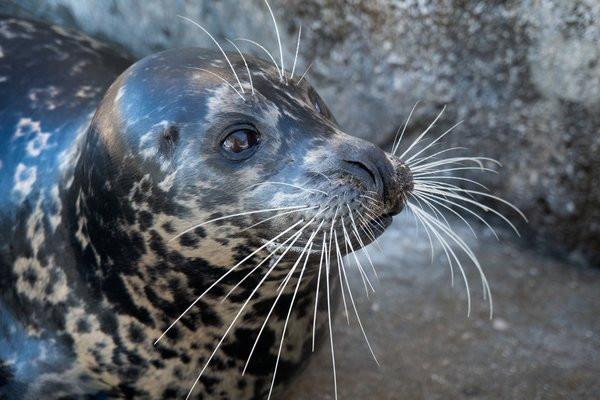 One of VA Aquarium's seals ready for an enrichment activity.