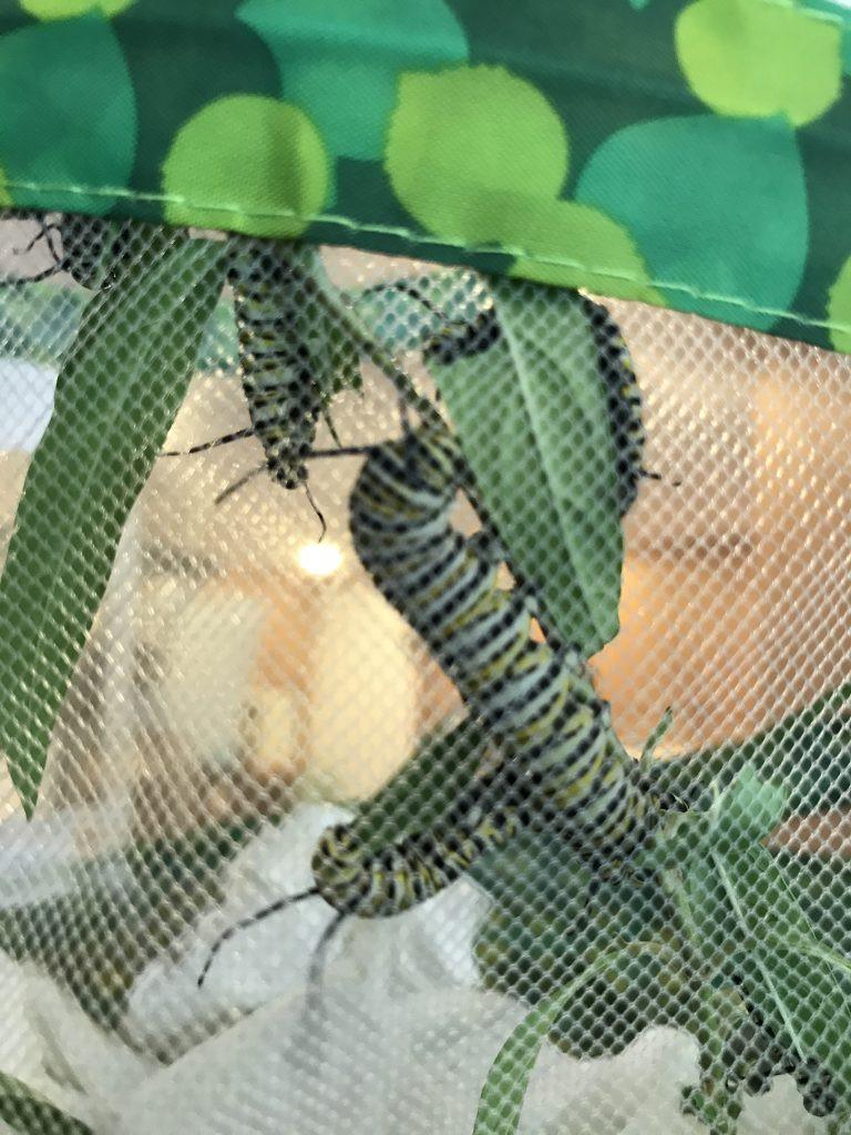 caterpillars chomping on milkweed in their indoor habitat