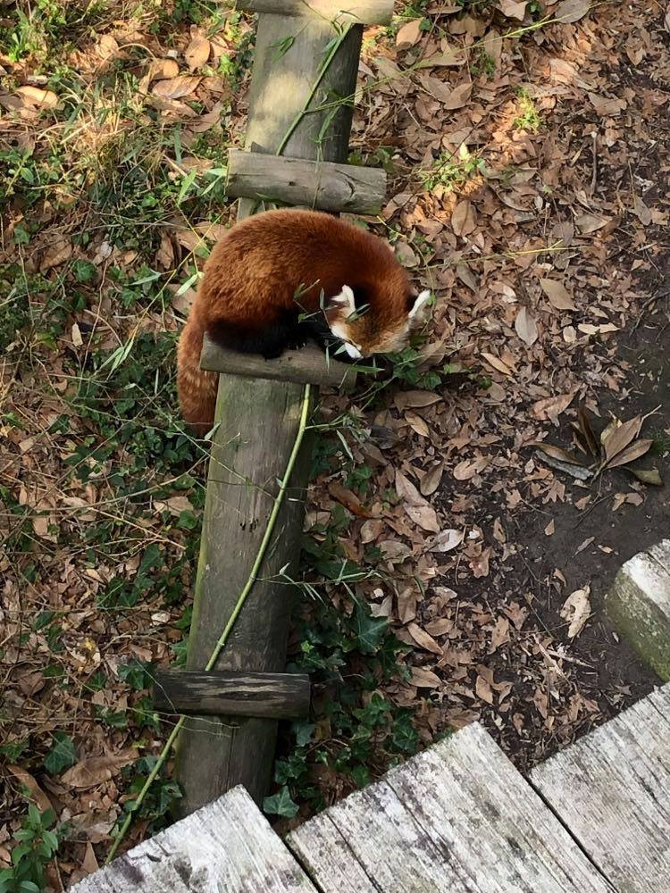 The red panda eats leaves.