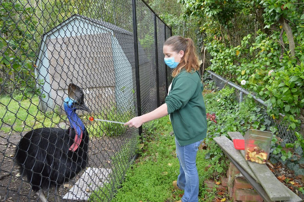 Hailey, a zoo staff member, works with Boris, who is some kind of large black bird with a blue head. Boris looks kinda confused.