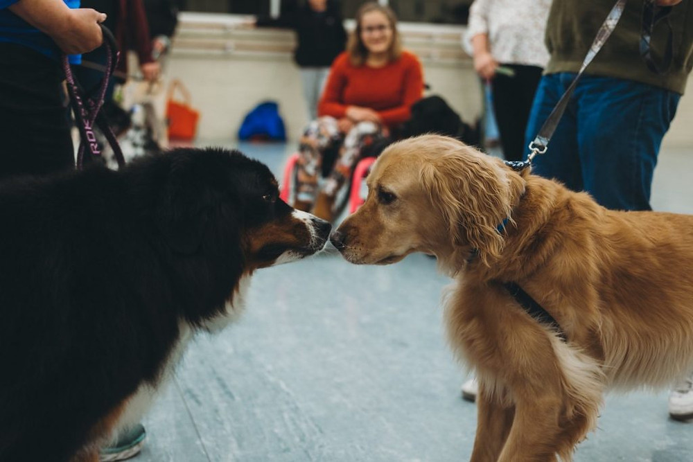 Two dogs meeting at Muttcracker auditions