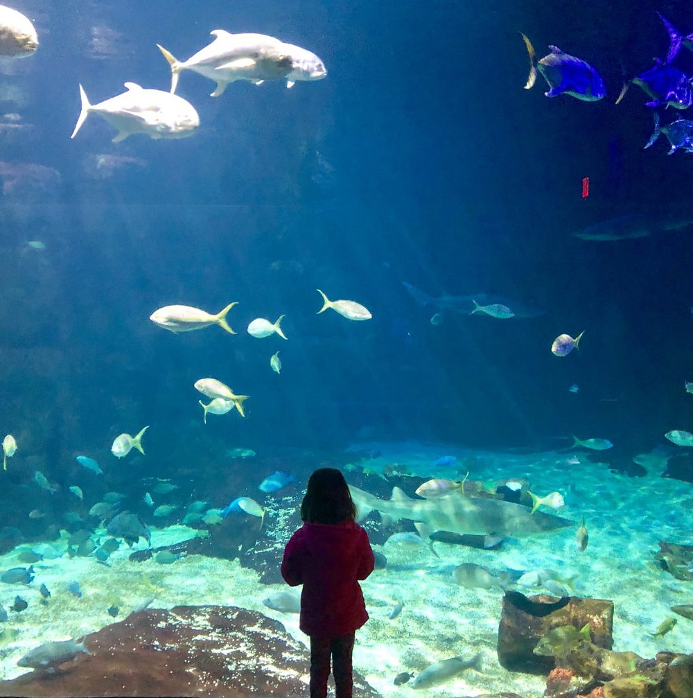 A child at the glass at the aquarium watches the fish.