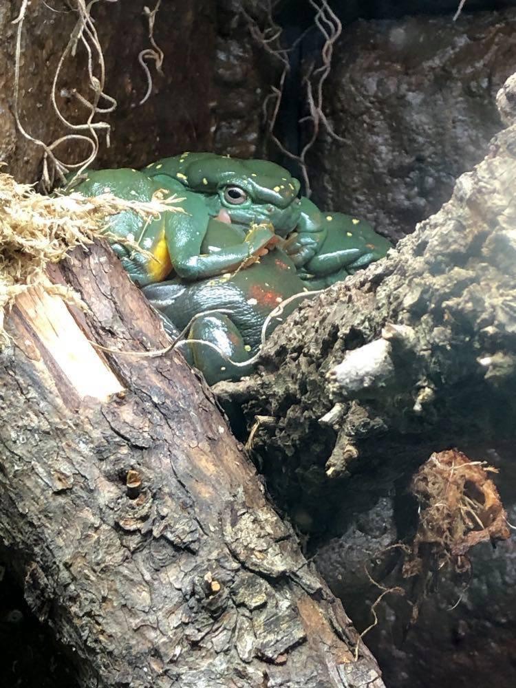 Tree Frogs in the Reptiles exhibit