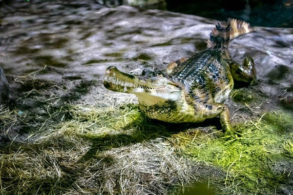 Either a gator or a crocodile (sorry, the editor never learned the difference) smiling for the camera in their habitat.