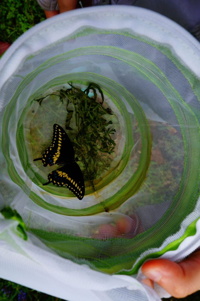 A Swallowtail butterfly, black with yellow stripes at the back of the wings.