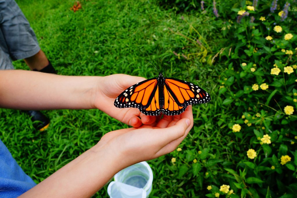 A male monarch being held by Louise's daughter