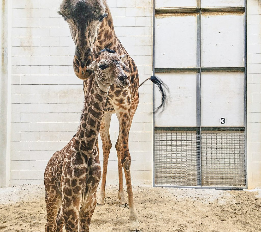 A baby giraffe looks at the camera, while a giraffe adult looks at the baby.