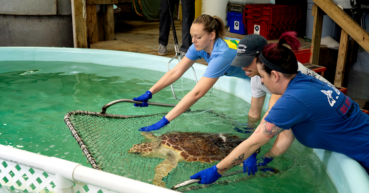 Staff from the VA Aquarium help out a stranded sea turtle in a tank.