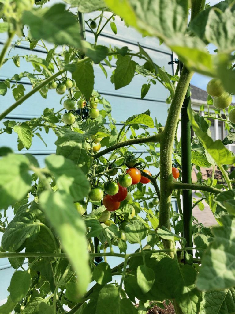 tiny tomatoes on their plant just turning ripe
