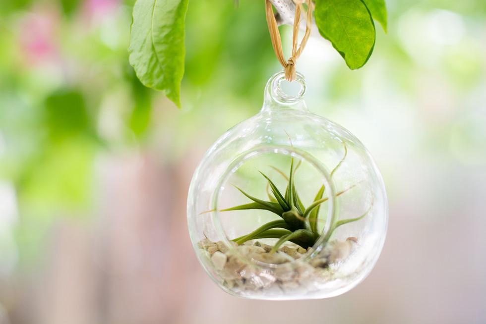 צמח אוויר