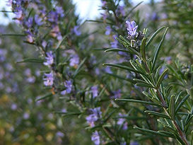 Rosmarinus-officinalis-Gil-Costa-CC-BY-N