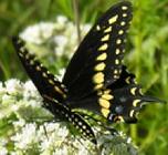 blackbutterfly.png