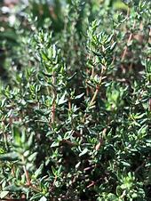 Thymus_vulgaris-leav_VrFtBeYY7Fzm.png