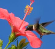 Plants that Attract Hummingbirds