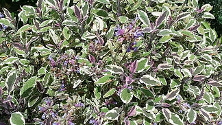 Salvia-officinalis-tricolor--philippe-ia