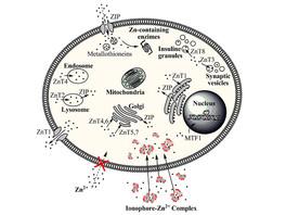 Zinc + Ionophores