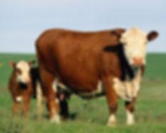 beef_cow.jpg