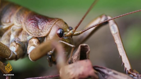 New Zealands Endangered Weta