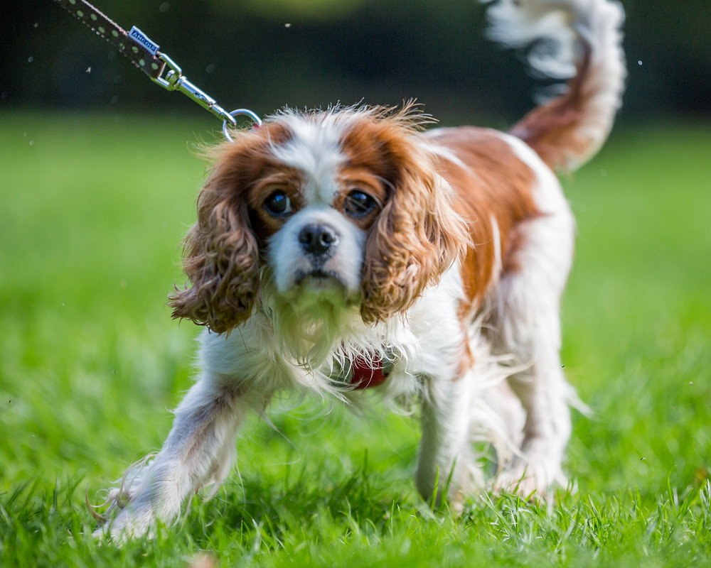 Dog photography in London. Spaniel at the All Dogs Matter Charity event in Victoria Park, London