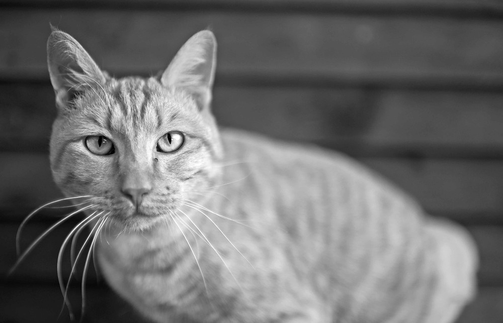 Rescue Cat photography in Cape Town. TEARS animal charity Calendar.