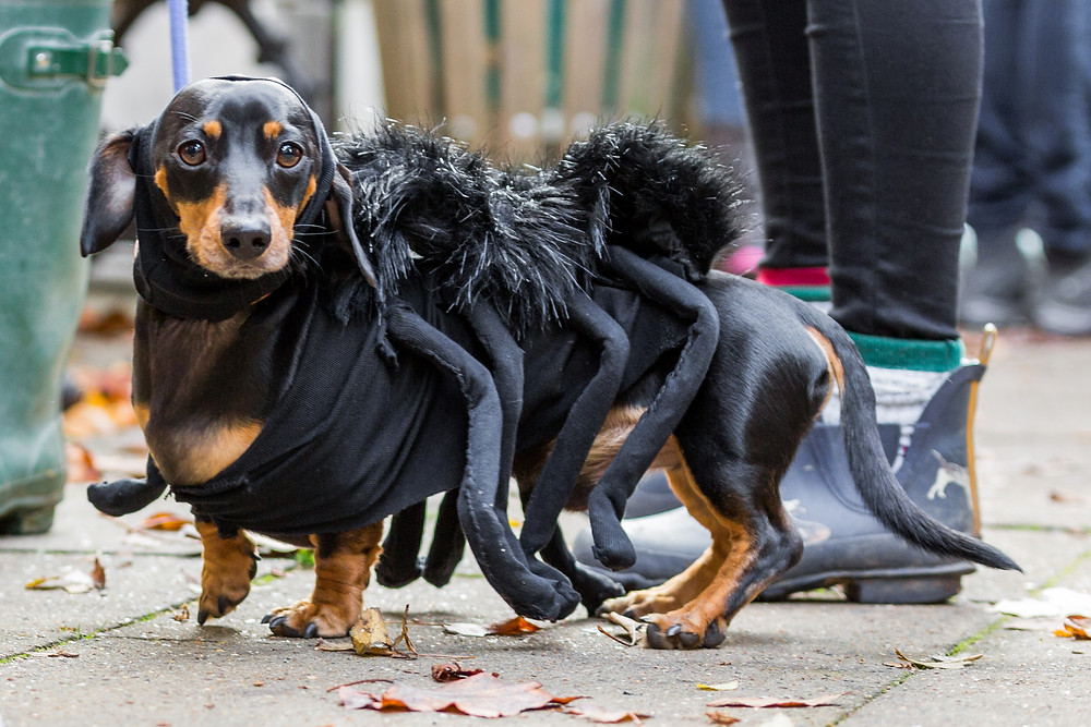 Dog photography in London. All Dogs Matter Halloween Charity Event. Spider Dachshund