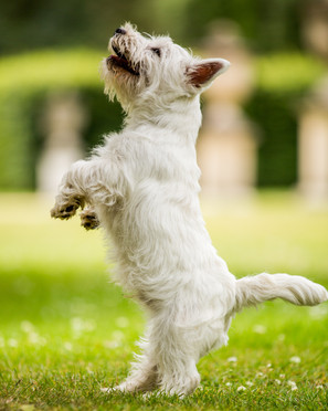 Hector - West Highland Terrier - London.