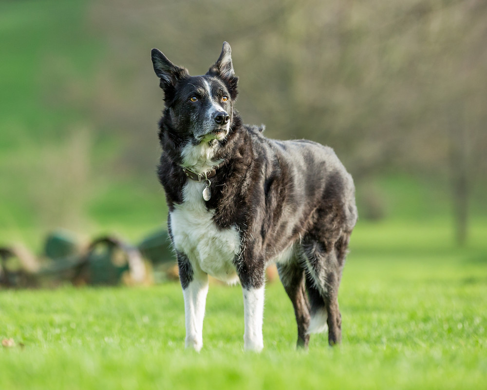 Dog photography in London. Flynn the Border Collie.